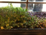 Growing Micro Greens At Home